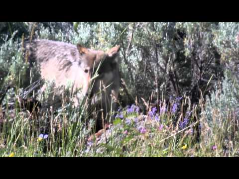 Yellowstone Wolf 2011: Alpha Female 06 Lamar Canyon Pack on a kill in Lamar Valley July(Explicit)