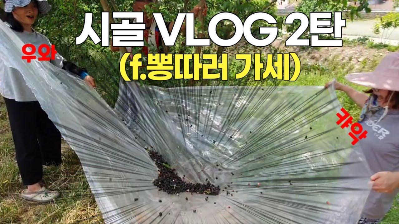 일상 VLOG :: 시골일상 브이로그 2탄 / 뽕나무털이 / 오디 따고 왔습니다~오디서?