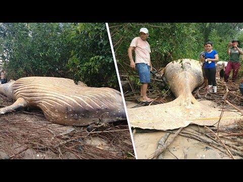 ¿Qué Hace Una Ballena en Medio del Amazonas?