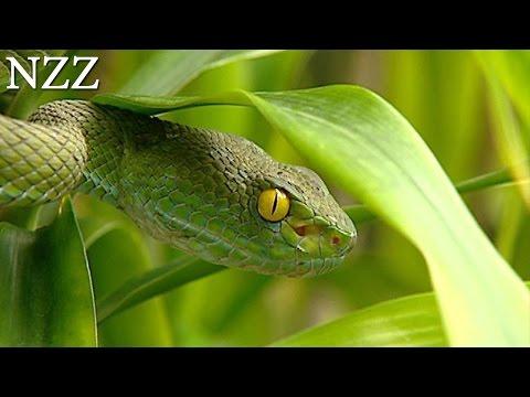 Sie heilen und sie töten: Schlangen - Dokumentation von NZZ Format 2004