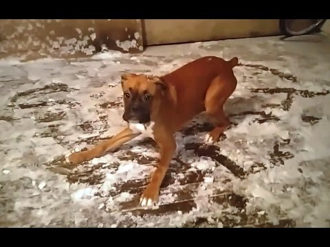 """Boxer Dogs are Awesome – Compilation"" 