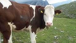 Mucche al pascolo, gita Tirolo 2012