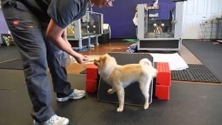 Rehabbing Tucker The Pomeranian After His Fho Surgery