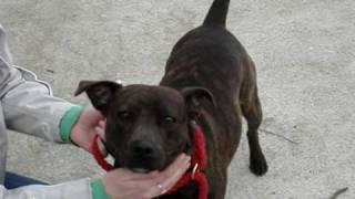 Kia  - Staffordshire Bull Terrier Avaliable For Adoption