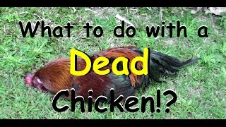 Gambar cover What to Do with a Dead Chicken?