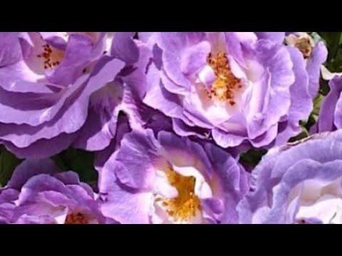 Розы хорошие сорта. Davib Austin