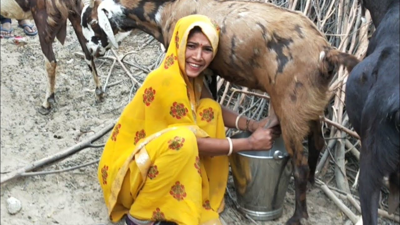 How to Milk Goat • Goat Milking • Goat Farming • goat milk ...