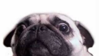 Happy Birthday Pug