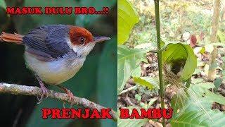 sarang burung prenjak bambu unik dan keren lihat indukannya lucu banget