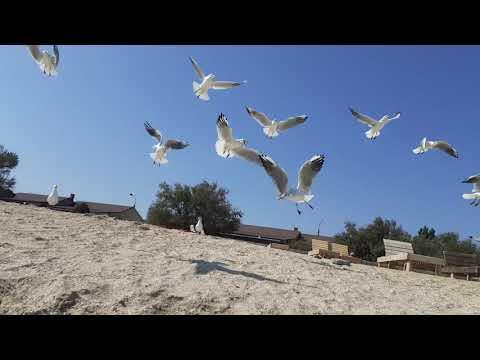 Seagulls of Kirillovka,