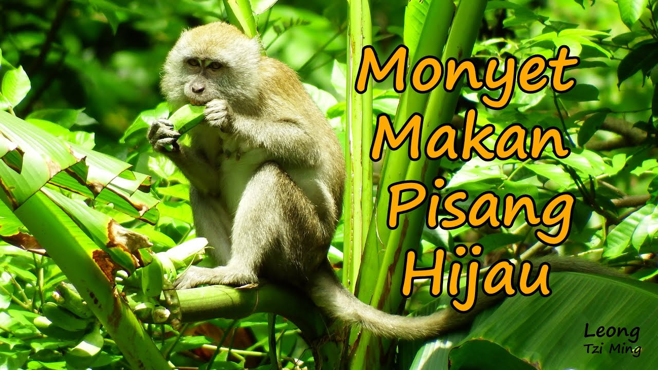 Monyet Makan Pisang Hijau Slo Mo Youtube
