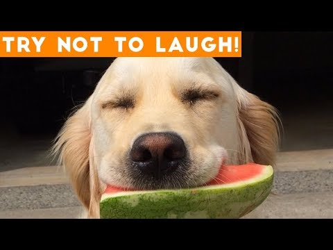 Try Not To Laugh Funniest Animal Compilation October  2018 | Funny Pet Videos