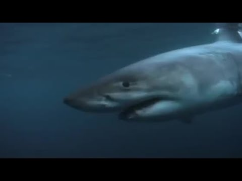 Great White shark feeding - Wildlife Specials: Great White Shark - BBC