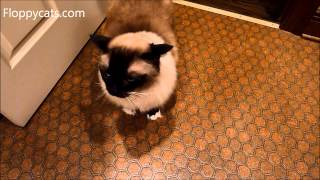 Ragdoll Cat Caymus Hisses at German Shepherd Dog Napa - ねこ - ラグドール - Floppycats