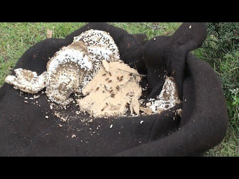 wasp deadly attack and nest excavation in Nepal