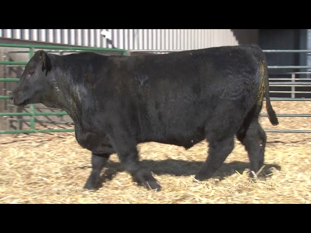 Schiefelbein Angus Farms Lot 240