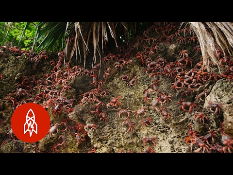 Christmas Island's Red Crab Invasion | That's Amazing