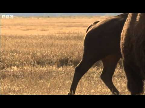 Bison face off - Yellowstone - BBC