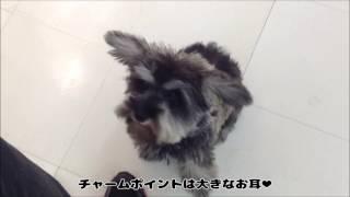 甘えん坊のシュナウザーちゃん.