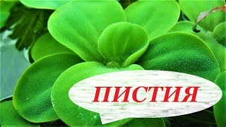 Пистия в аквариуме. Аквариумное растение, размножение, содержание, пистия плавающая цветёт.