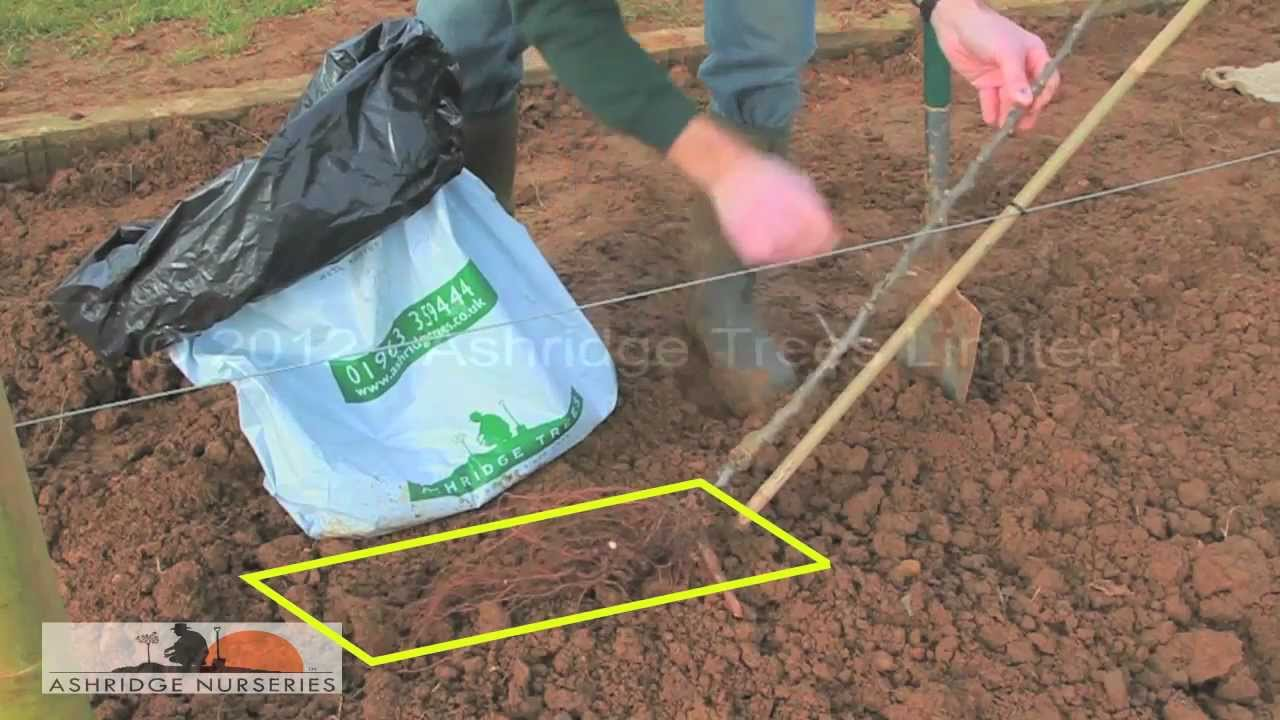 Planting A Cordon Fruit Tree Youtube