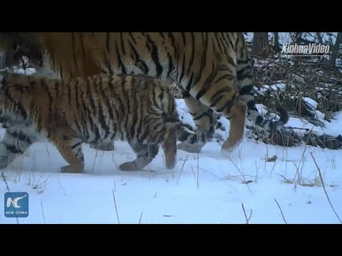 Wild Siberian tiger family spotted strolling in Heilongjiang China