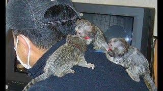 コモンマーモセット7 小さな赤ちゃん猿♪ Triplet Tiny Baby Monkeys Feeding.