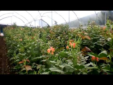 Эквадорская кустовая роза спрей.