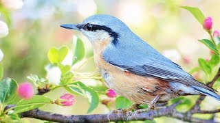 """Peaceful Relaxing Instrumental Music, Quiet Meditation Music """"Birds of Spring"""" by Tim Janis"""