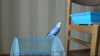 Волнистый попугай Кеша  хороший(Кеша хороший! Поцелуй- поцелуй ! Кеша болтун!, 2014-06-29T15:45:26.000Z)