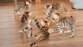 Bengal Kittens test which of them is the Strongest