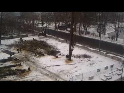 Dresden Ostra-Allee - Baum fällt in falsche Richtung