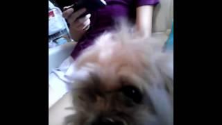 我が家の愛犬。ラサアプソのマロンです。来月まるがりにするので 髪の毛...