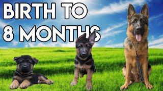 German Shepherd GROWING up  BIRTH to 8 MONTHS