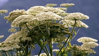 How to avoid dangerous giant hogweed