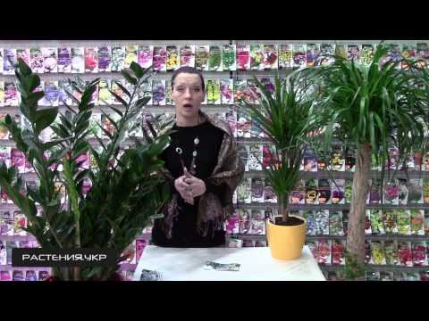 Драцена уход в домашних условиях / Как вырастить драцену из семян?