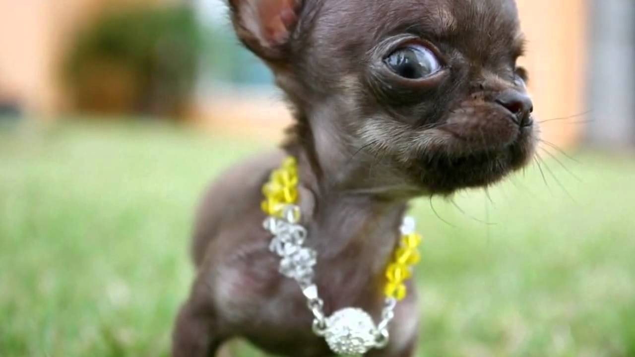 World S Smallest Dog 2012 Milly The Chihuahua Mp4 Youtube