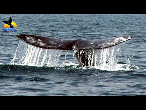 Gray Whale at Israel - ECS 2011