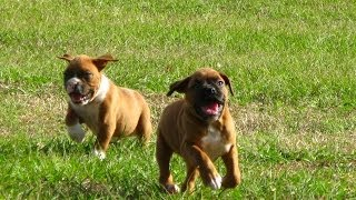 Boxer, Puppies, For, Sale, In, Los Angeles, California, Ca, Visalia, Thousand Oaks, East Los Angeles