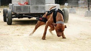 Instinct Game Dog - TRAÇÃO (Pit Bull Puxando peso)