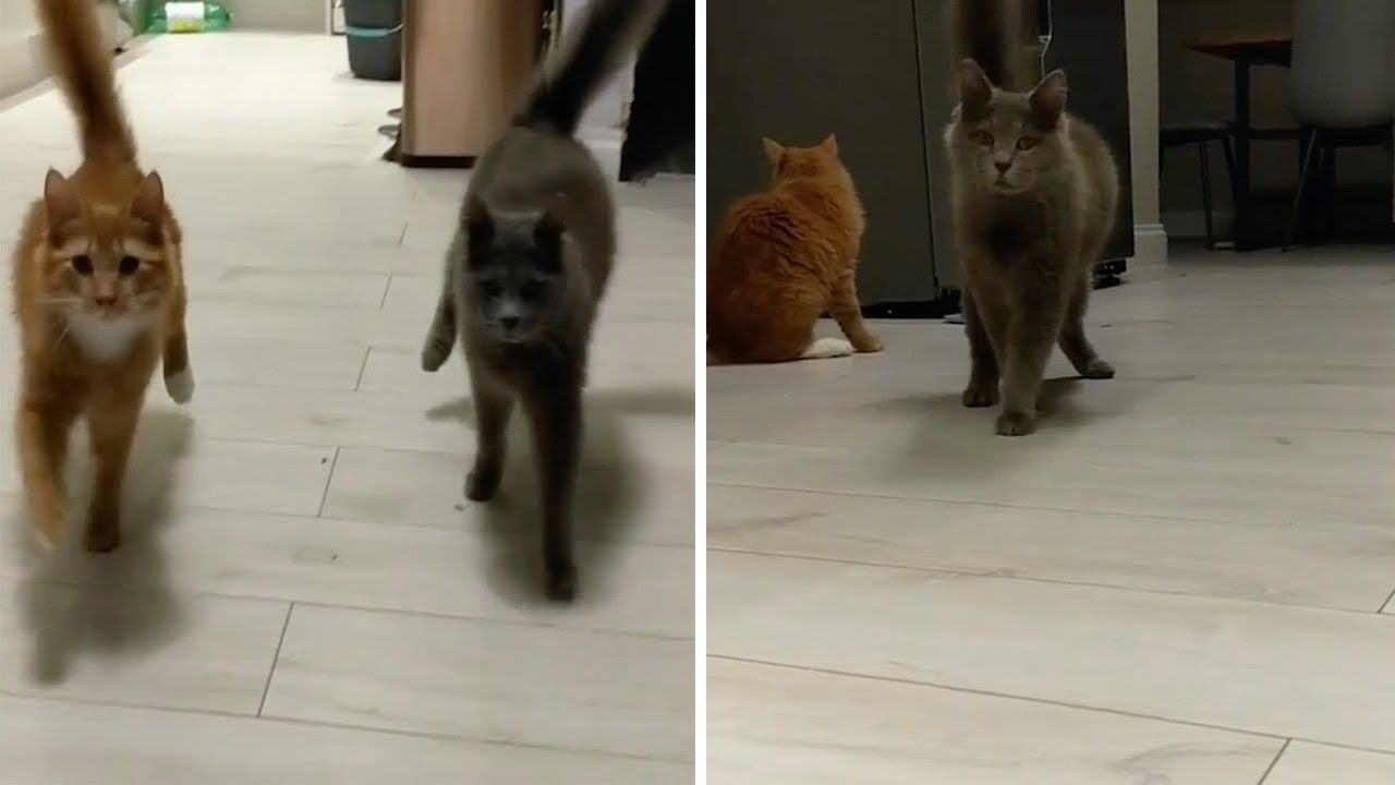 Wobbly Cat Syndrome Felines In Sync Youtube