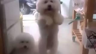 French Poodle Bailarin