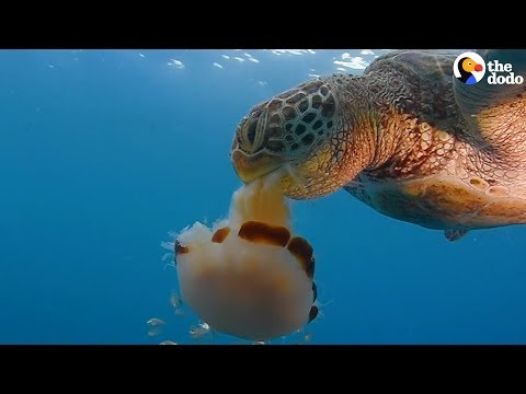 How To Save A Sea Turtle's Life | The Dodo
