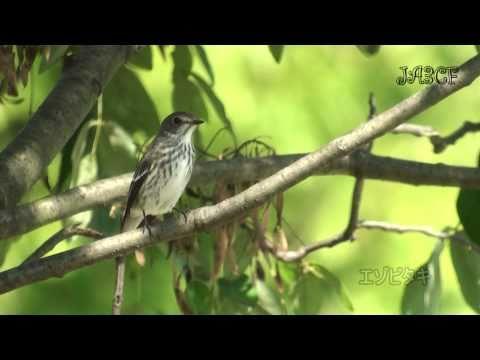 エゾビタキの鳴き声 Grey-spotted Flycatcher