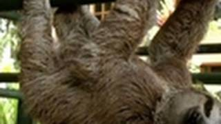 Sloths Do Gymnastics! | Too Cute