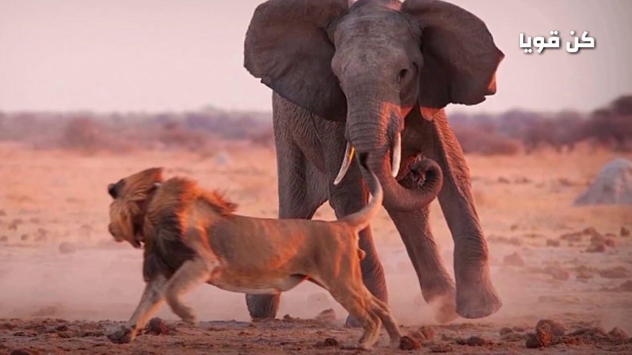 عندما تواجه الأسود المفترسة أضخم الحيوانات الأفريقية! !ماذا يحدث؟ ؟ صراع البقاء