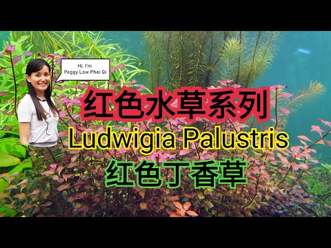 LUDWIGIA PALUSTRIS Ludwigia Super Red 红丁香水草 How to red aquatic plant in fish tank aquarium