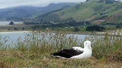 Live Royal Albatross Cam - #RoyalCam - New Zealand Dept. of Conservation | Cornell Lab
