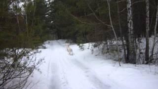 УСМАНЬ-САО мои собаки(, 2013-02-06T10:58:55.000Z)