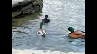 Mallard Behavior~ The Mating Season